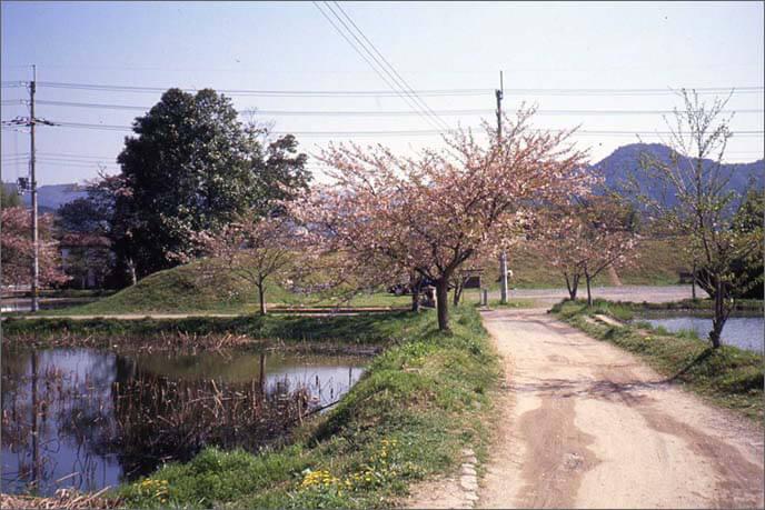 南馬出(みなみうまだし)の桜の画像