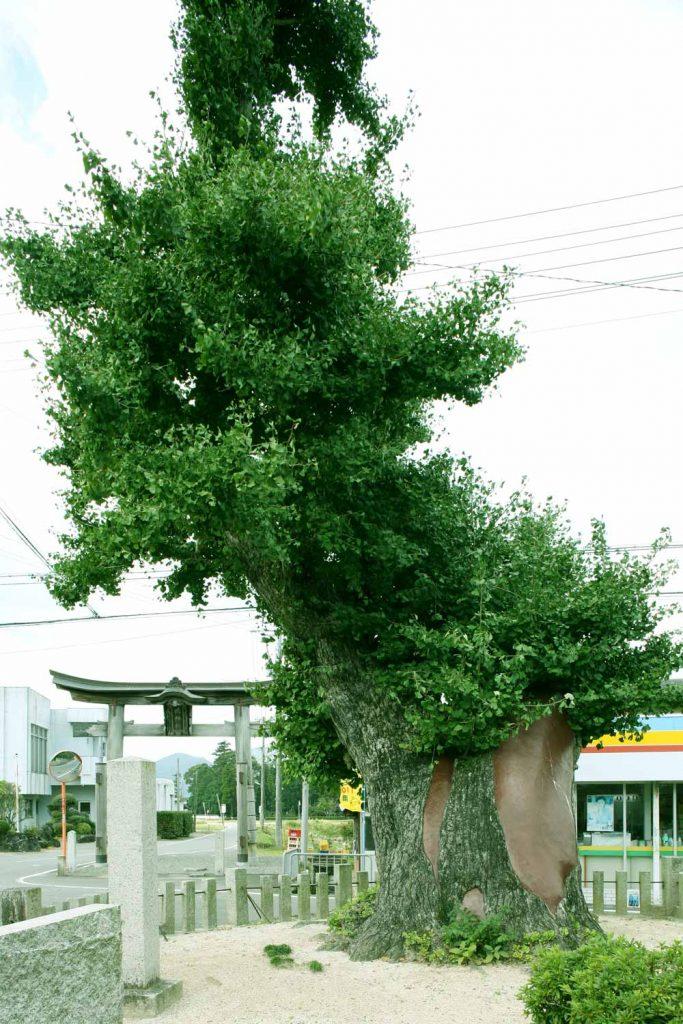 イチョウの木と 鴨神社一の鳥居